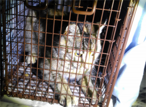 Kitten-in-Feral-Cat-Trap